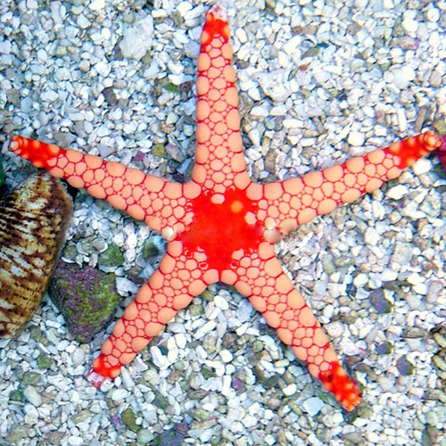 Marble Tile Fromia Sea Star