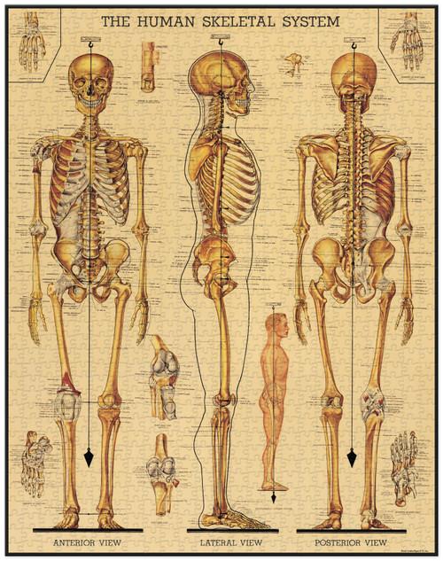 Skeletal System Puzzle