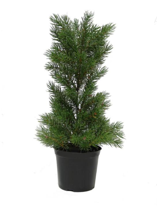 Mini Pine Pot Plant 45cm