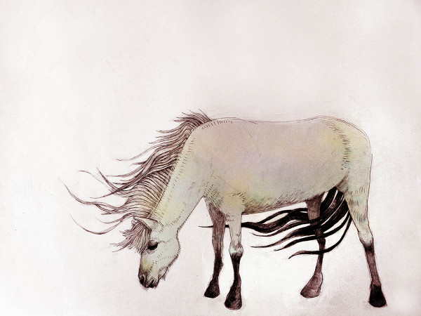Colored Icelandic Pony in the Wind