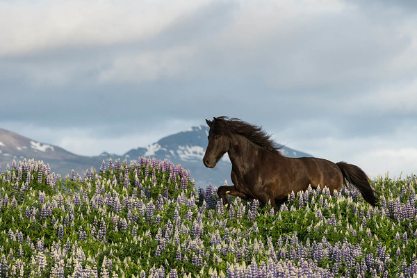 Little Black Horse In Lupins
