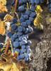 Syrah grapes at Lava Cap