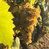 Domaine Vincent Careme Grapes