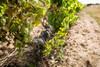 Chenin Blanc planted on sand