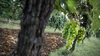 Le Busche Vineyard