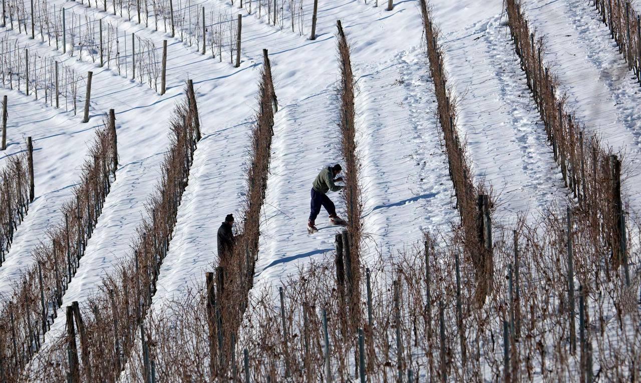 Pecchenino Vineyard