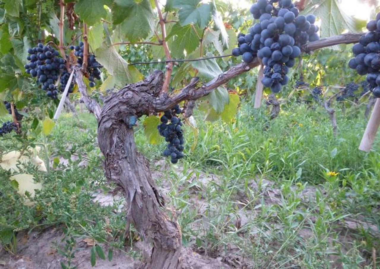 Bella Vista Vineyard