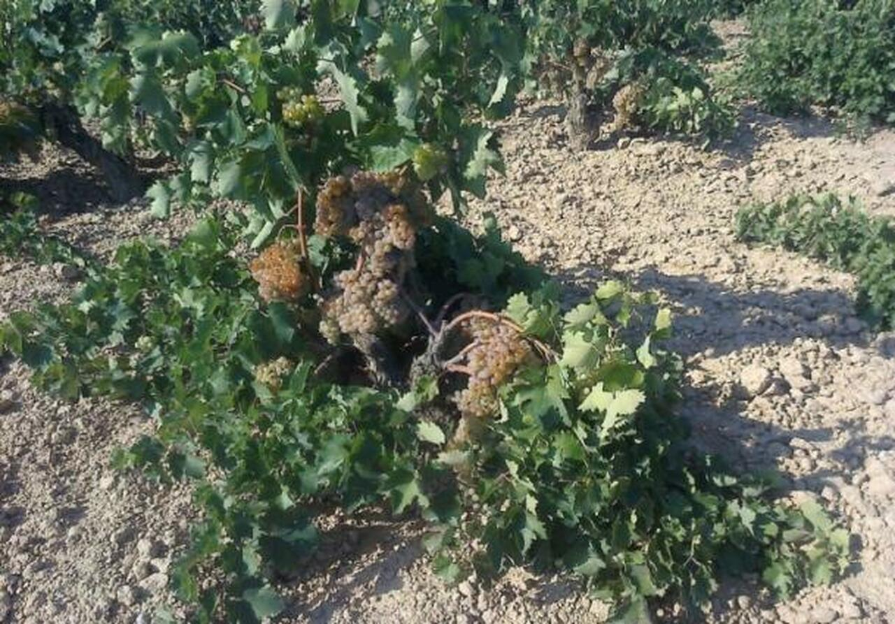 Savatiano Old Vines