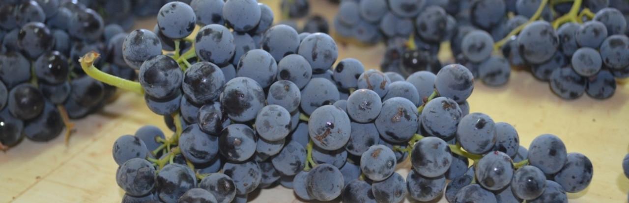 Bobal grape
