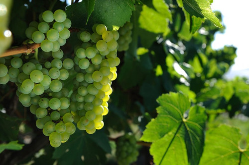 Chardonnay from Tolpuddle Vineyard