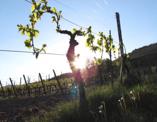 Grapevines from Allimant-Laugner
