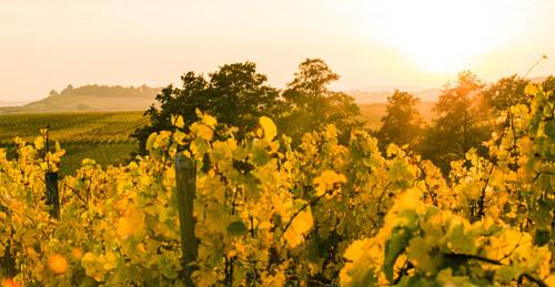 Rheingau Vineyards
