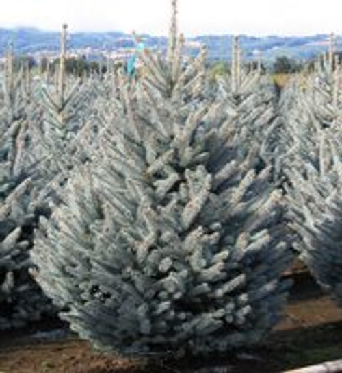 Blue Spruce 'Fat Albert' 2 Gallon