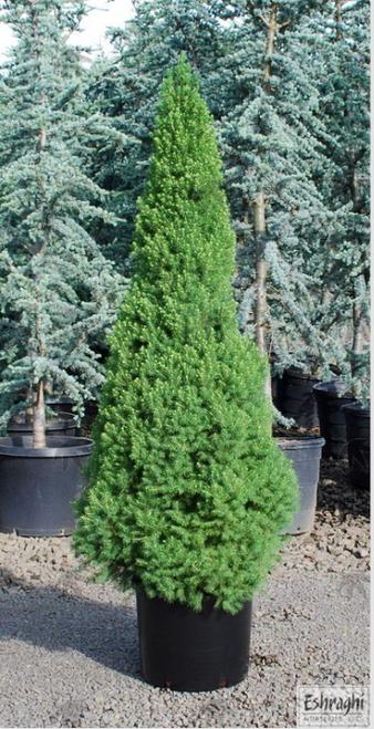 Alberta Spruce 'Dwarf' 1 Gallon