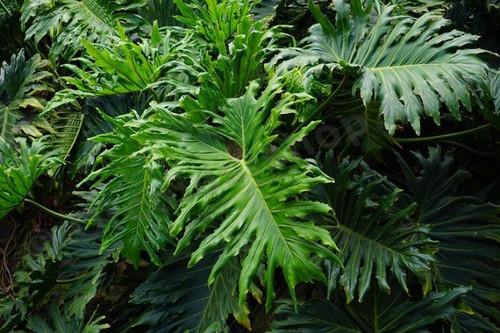 Philodendron 'Selloum'