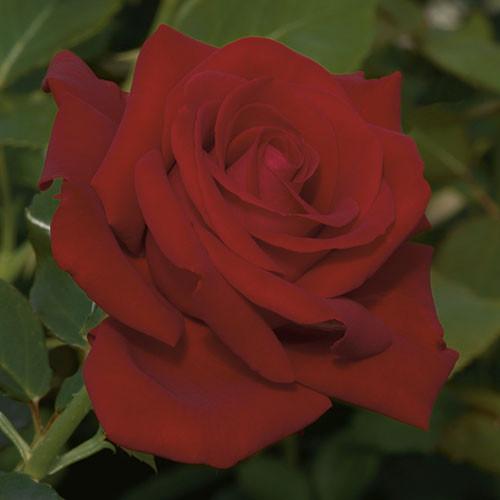 Rose 'Drop Dead Red™' - Weeks