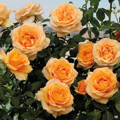 Rose 'Golden Opportunity' - Weeks
