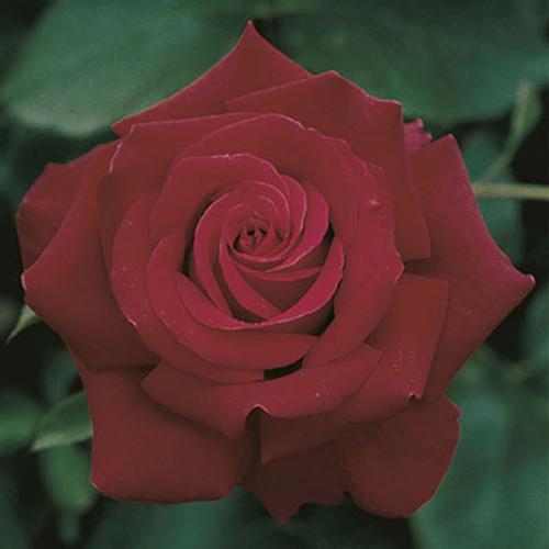 Rose 'Firefighter®' - Weeks