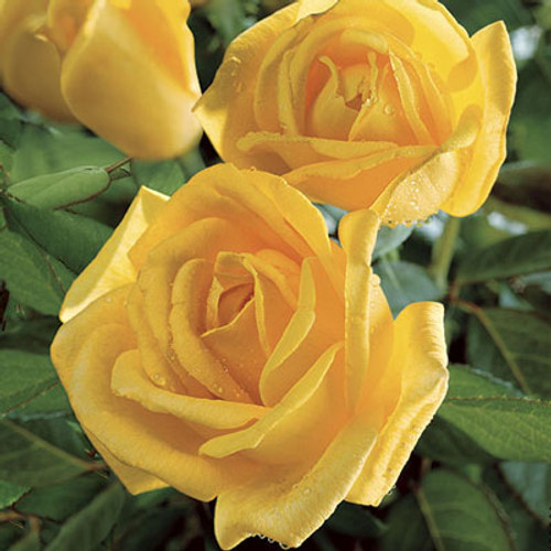 Rose 'Radiant Perfume' - Weeks