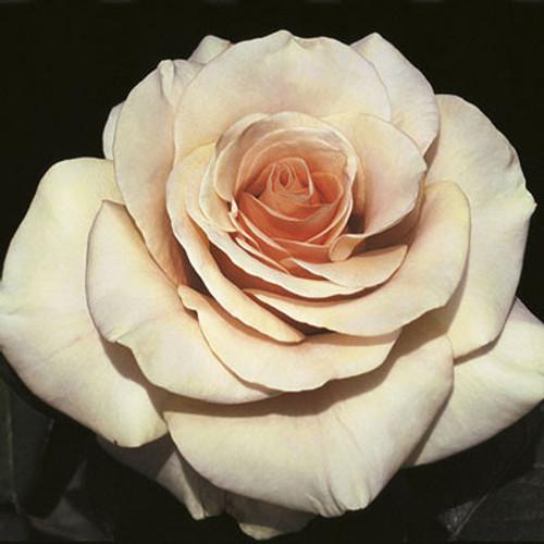 Rose 'Marilyn Monroe™' - Weeks