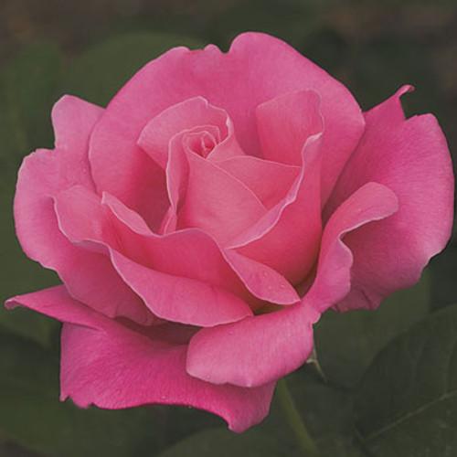 Rose 'Perfume Delight'- Weeks