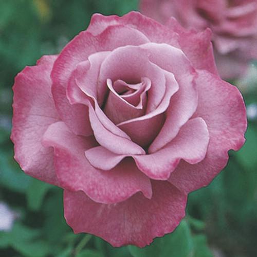 Rose 'Angel Face' - Weeks