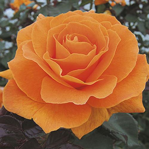 Rose 'Vavoom™' - Weeks