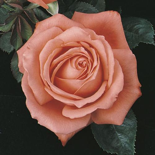 Rose 'Tropicana' - Weeks