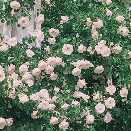 Rose 'New Dawn' - Weeks