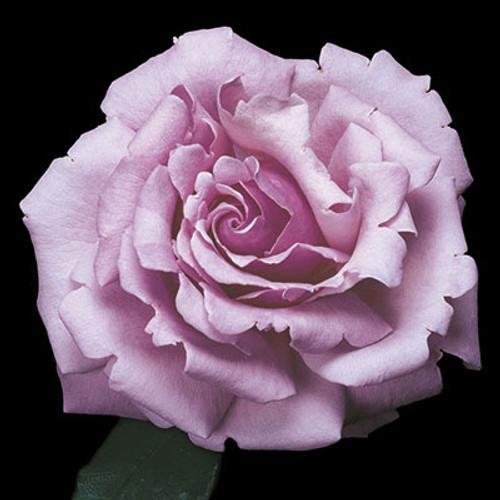 Rose 'Memorial Day™' - Weeks