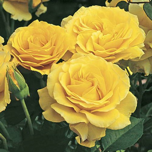 Rose 'Doris Day' - Weeks