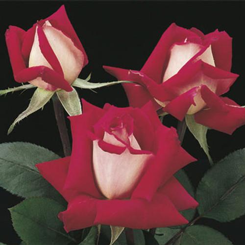 Rose 'Love' - Weeks