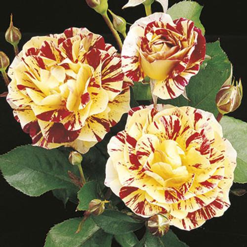 Rose 'George Burns' - Weeks