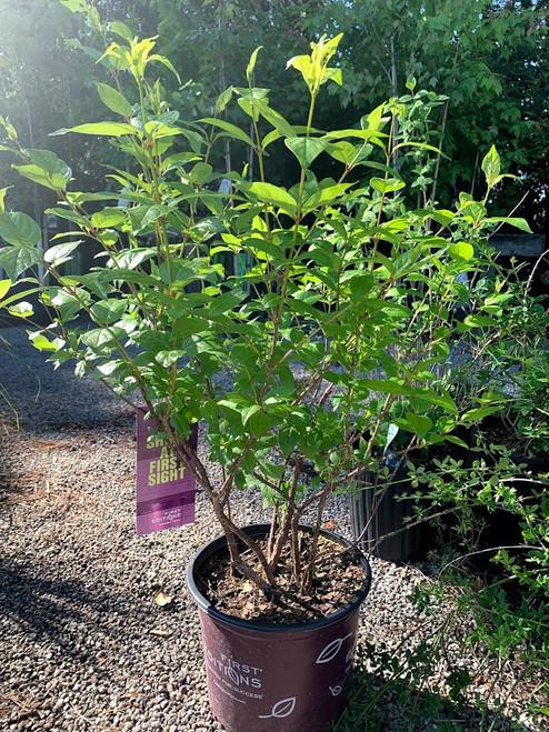 Buttonbush Native 1 Gallon