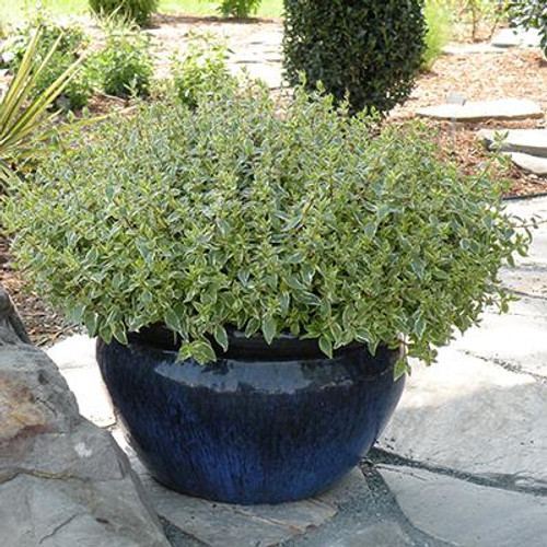 Abelia 'Radiance' 3 Gallon