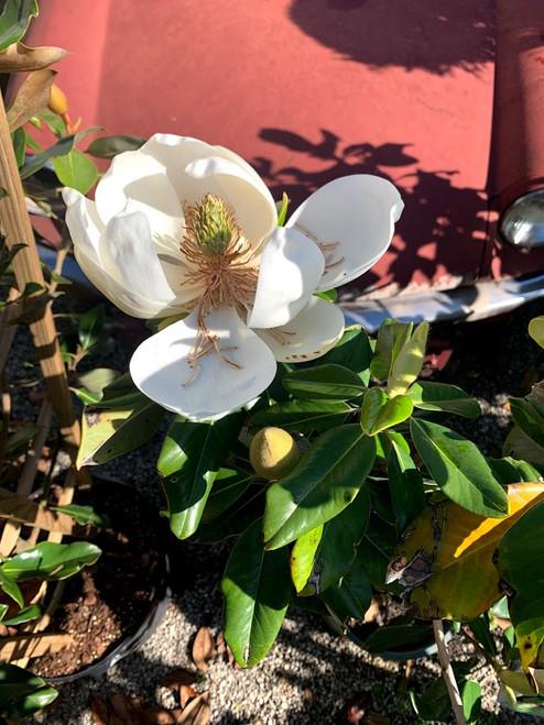 Magnolia Baby Grand 5 Gallon