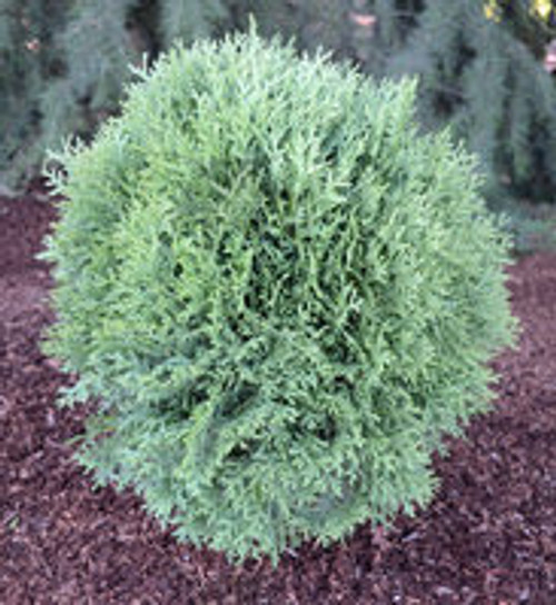 Arborvitae 'Tom Thumb' 3 Gallon