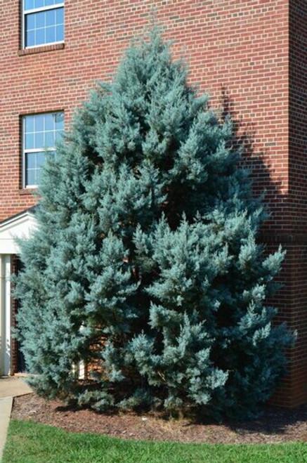 Cypress 'Carolina Sapphire' 5 Gallon