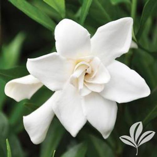 Double-form gardenia flower