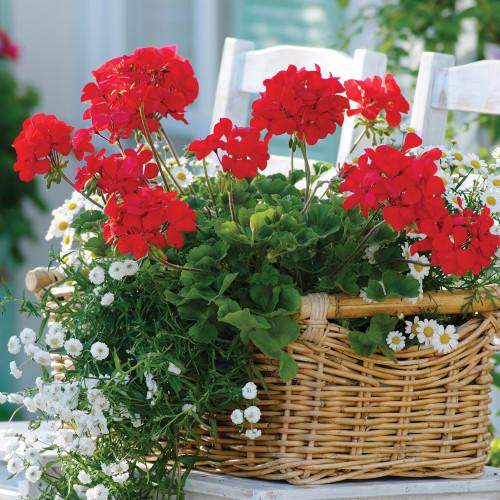Geranium Calliope Hanging Basket 11 Inch