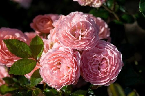 Rose Apricot Drift®   3 Gallon