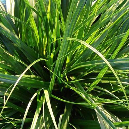 Grass Sedge 'Everdi' 1 Gallon