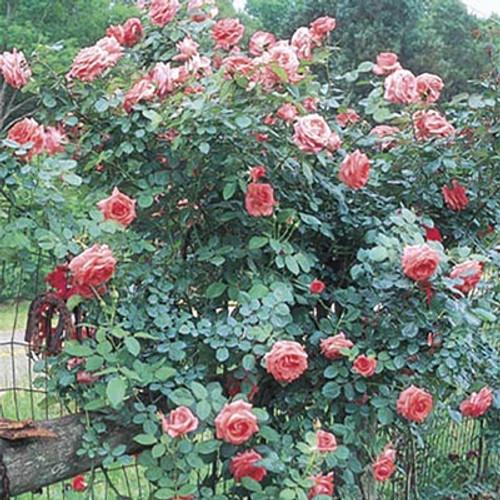 Rose 'America' - Weeks