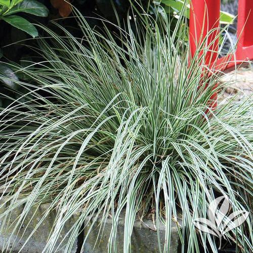 Carex 'Everest' 1 Gallon