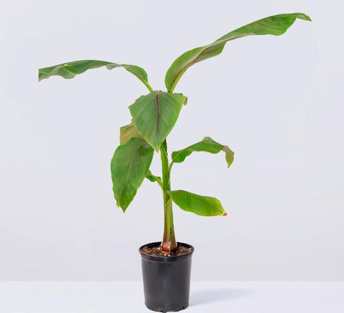 Banana Basjoo - Cold Hardy   3 Gallon