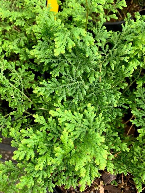 Fern Arborvitae 1 Gallon