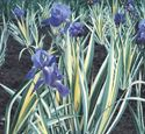 Iris Variegated 1 Gallon