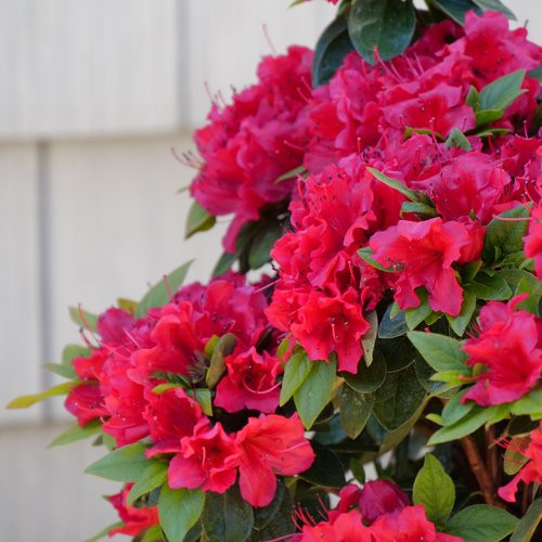 Azalea Perfecto Mundo® Red 3 Gallon