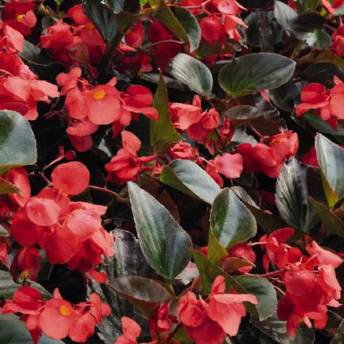 Begonia Bronze/Red 3.5 Inch