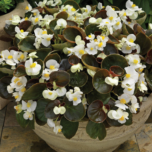 Begonia Bronze/White 3.5 Inch